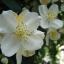 Jasmine Fragrance มะลิ (1 kg) thumbnail 1