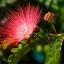 หัวน้ำหอมดอกจามจุรี Jamjuree รหัสสินค้า : 002851 thumbnail 1