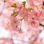 หัวน้ำหอมดอกซากุระ : 001190 thumbnail 1