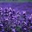 Lavender Fragrance ลาเวนเดอร์ (1 kg) thumbnail 1