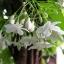 Mook Fragrance โมก (1 kg) thumbnail 1