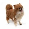 ตุ๊กตาสุนัขใยขนแกะ พันธุ์ปอมเมอเรเนียน (Pomeranian) Size M-1